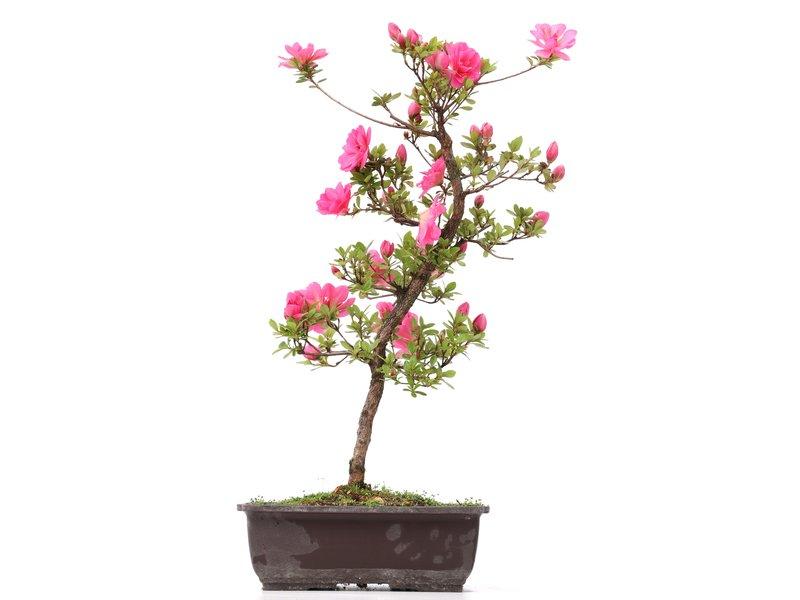 Rhododendron indicum, 47 cm, ± 12 jaar oud, met roze bloemen