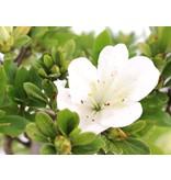 Rhododendron indicum, 39 cm, ± 12 jaar oud, met witte en roze veelkleurige bloemen
