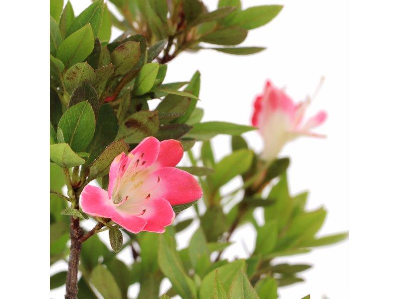 Rhododendron indicum, 40 cm, ± 12 jaar oud, met roze bloemen met een witte kern