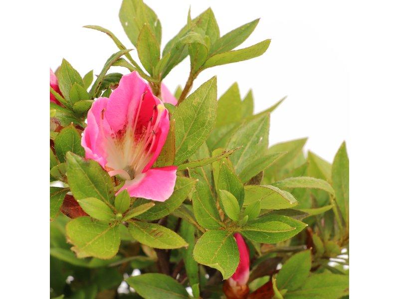 Rhododendron indicum, 36 cm, ± 12 jaar oud, met roze bloemen met een witte kern