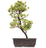 Rhododendron indicum, 38 cm, ± 12 jaar oud