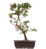 Rhododendron indicum, 44 cm, ± 12 jaar oud, met roze en witte bloemen