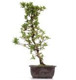 Rhododendron indicum, 46 cm, ± 12 jaar oud