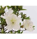 Rhododendron indicum, 39 cm, ± 12 jaar oud, met witte bloemen
