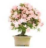 Rhododendron indicum Nikko, 39 cm, ± 35 jaar oud, met licht- en donkerroze bloemen