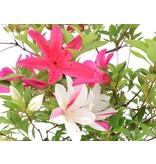 Rhododendron indicum, 38 cm, ± 12 jaar oud, met witte en roze veelkleurige bloemen