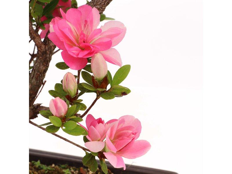 Rhododendron indicum, 41 cm, ± 12 jaar oud, met roze bloemen