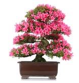 Rhododendron indicum Korin, 49 cm, ± 35 jaar oud, met felroze bloemen