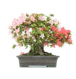 Rhododendron indicum, 40 cm, ± 40 years old, with light and dark pink flowers