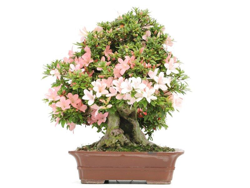 Rhododendron indicum Nikko, 42 cm, ± 40 jaar oud, met licht- en donkerroze bloemen