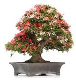Rhododendron indicum Sati-No-Tukasa, 46 cm, ± 40 jaar oud, met witte en roze veelkleurige bloemen