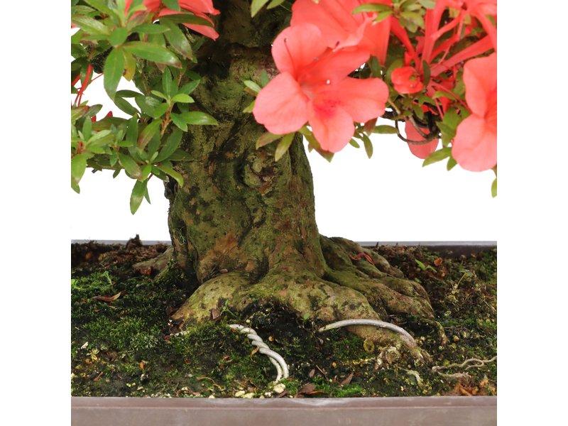 Rhododendron indicum Kinsai, 29 cm, ± 40 jaar oud, met rode bloemen