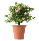 Rhododendron indicum, 22 cm, ± jaar oud, met lichtroze bloemen