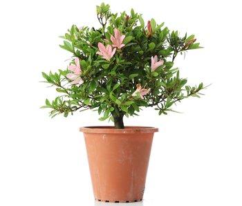 Rhododendron indicum, 22 cm, ± jaar oud