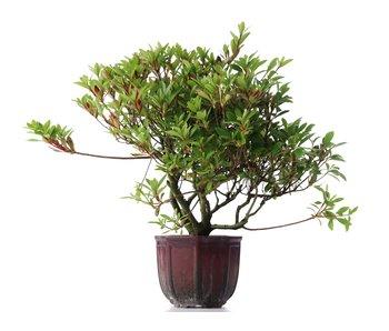 Rhododendron indicum, 30 cm, ± jaar oud