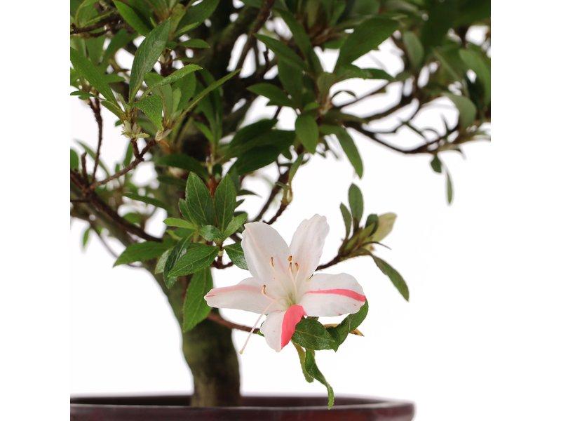 Rhododendron indicum, 25 cm, ± jaar oud, met witte veelkleurige bloemen