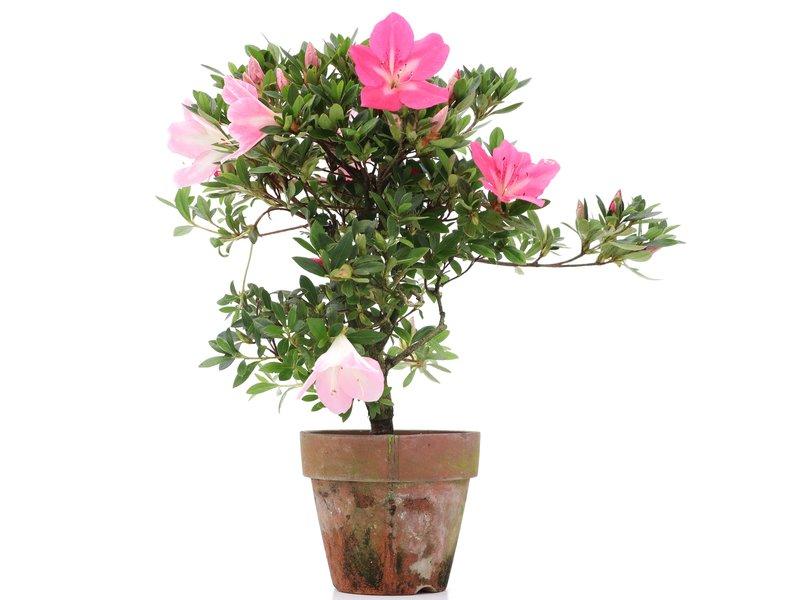 Rhododendron indicum, 30 cm, ± jaar oud, met licht- en donkerroze bloemen