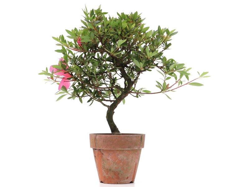 Rhododendron indicum, 30 cm, ± jaar oud, met roze bloemen