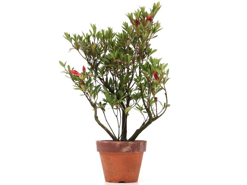 Rhododendron indicum, 33,5 cm, ± jaar oud, met roze bloemen