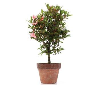 Rhododendron indicum, 29 cm, ± años