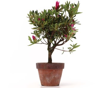 Rhododendron indicum, 29,5 cm, ± jaar oud