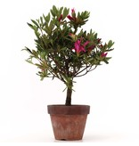 Rhododendron indicum, 29,5 cm, ± jaar oud, met paarse bloemen