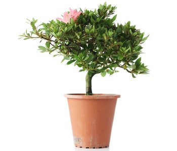 Rhododendron indicum, 20,5 cm, ± años
