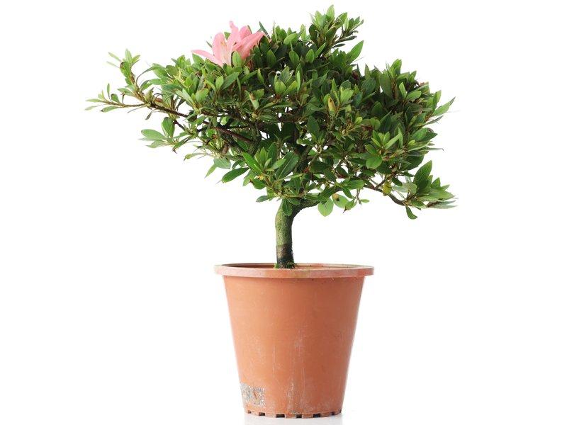 Rhododendron indicum, 20,5 cm, ± jaar oud, met lichtroze bloemen
