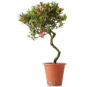 Rhododendron indicum, 36 cm, ± años