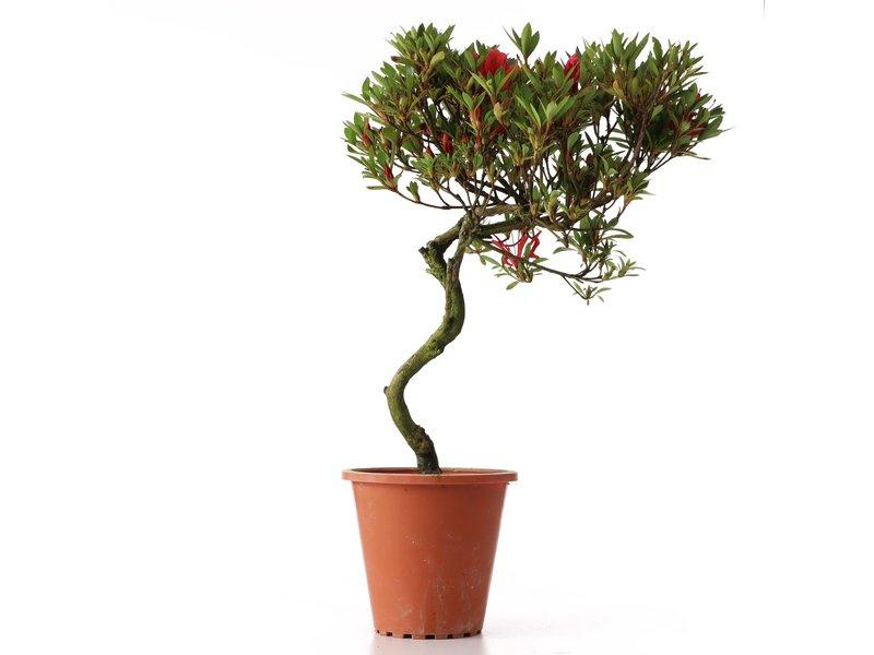 Rhododendron indicum, 36 cm, ± jaar oud, met rode bloemen
