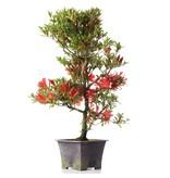 Rhododendron indicum, 43 cm, ± jaar oud, met rode bloemen