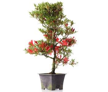 Rhododendron indicum, 43 cm, ± jaar oud