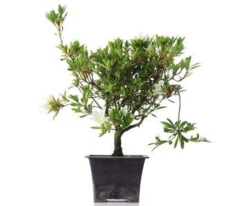 Rhododendron indicum, 32 cm, ± años