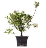 Rhododendron indicum, 32 cm, ± jaar oud, met witte bloemen