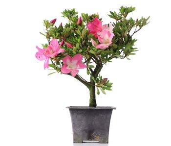Rhododendron indicum, 27,5 cm, ± años