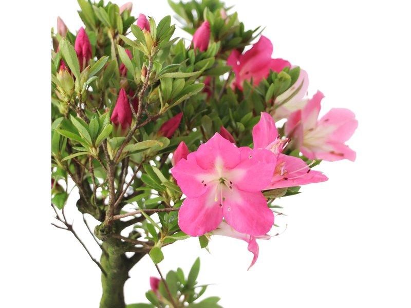 Rhododendron indicum, 27,5 cm, ± jaar oud, met licht- en donkerroze bloemen