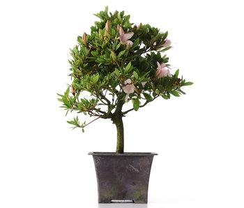 Rhododendron indicum, 31 cm, ± jaar oud