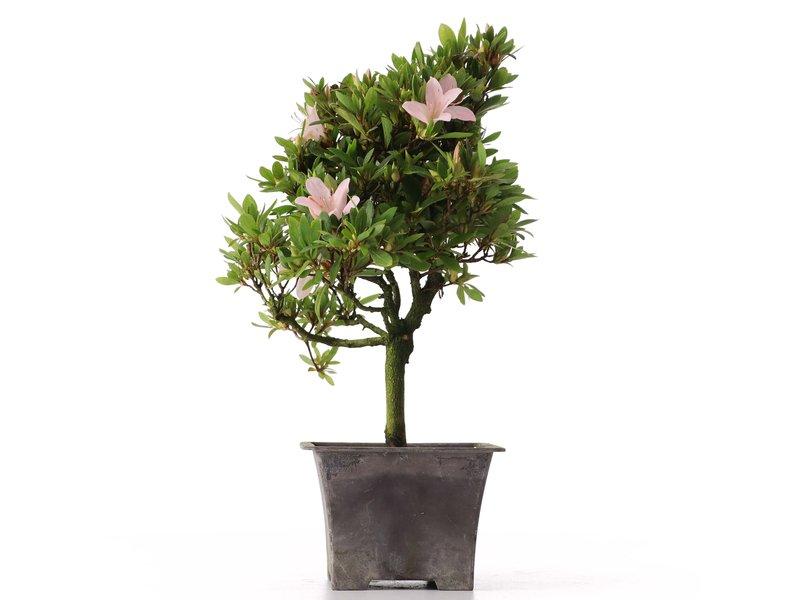 Rhododendron indicum, 31 cm, ± jaar oud, met lichtroze bloemen