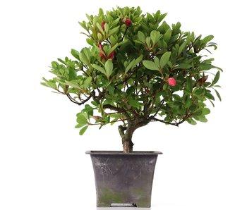 Rhododendron indicum, 27 cm, ± años