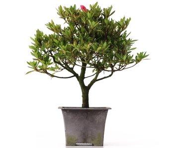 Rhododendron indicum, 28 cm, ± años