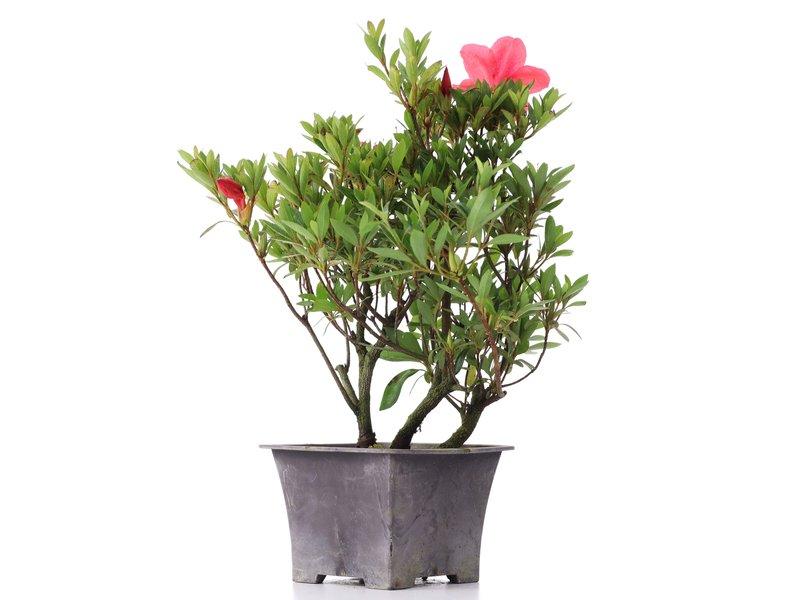 Rhododendron indicum, 29 cm, ± jaar oud, met roze bloemen