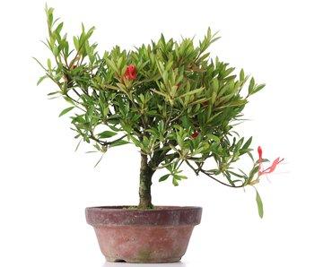 Rhododendron indicum, 20 cm, ± años