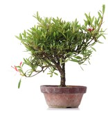 Rhododendron indicum, 20 cm, ± jaar oud, met rode bloemen