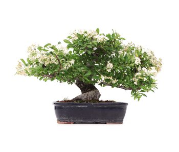 Pyracantha, 26 cm, ± 25 years old