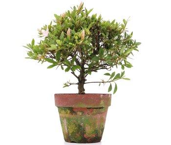 Rhododendron indicum, 25 cm, ± años