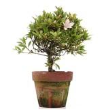 Rhododendron indicum, 25 cm, ± jaar oud, met lichtroze bloemen