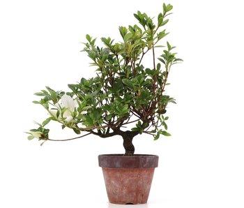 Rhododendron indicum, 31 cm, ± años