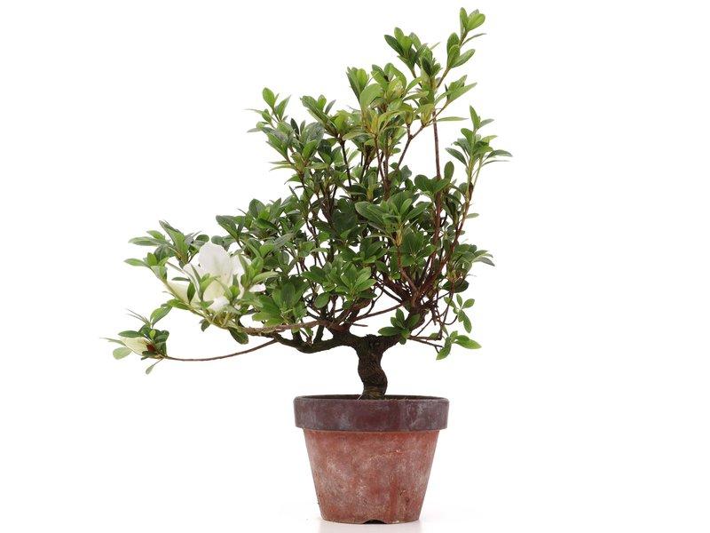 Rhododendron indicum, 31 cm, ± jaar oud, met witte bloemen