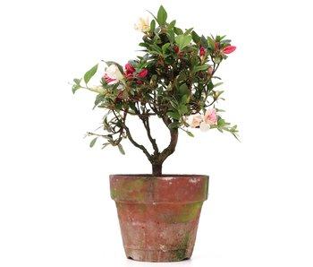 Rhododendron indicum, 22,5 cm, ± años