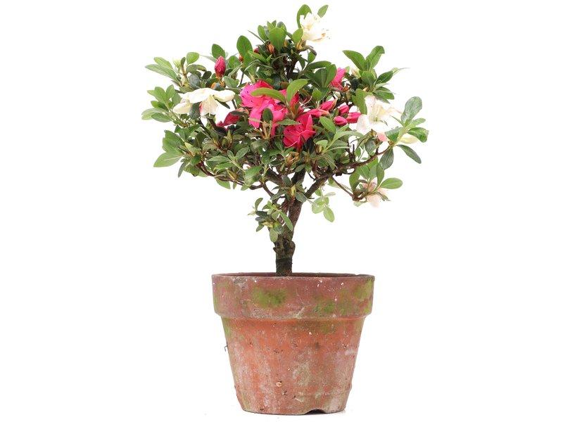 Rhododendron indicum, 22,5 cm, ± jaar oud, met witte en roze veelkleurige bloemen
